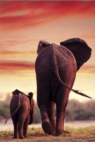Elephant Sunset (Elefant)
